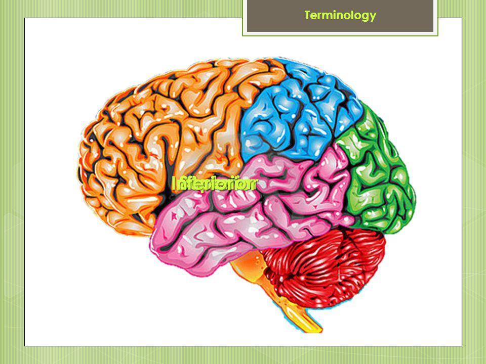 Terminology Inferior Superior Posterior Anterior
