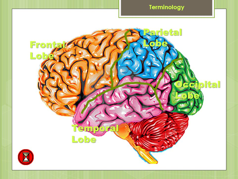 Terminology Parietal Lobe Frontal Lobe Occipital Lobe Temporal Lobe