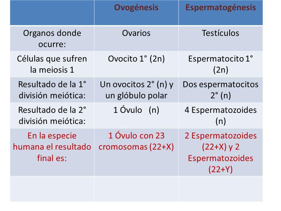 Ovogénesis Espermatogénesis
