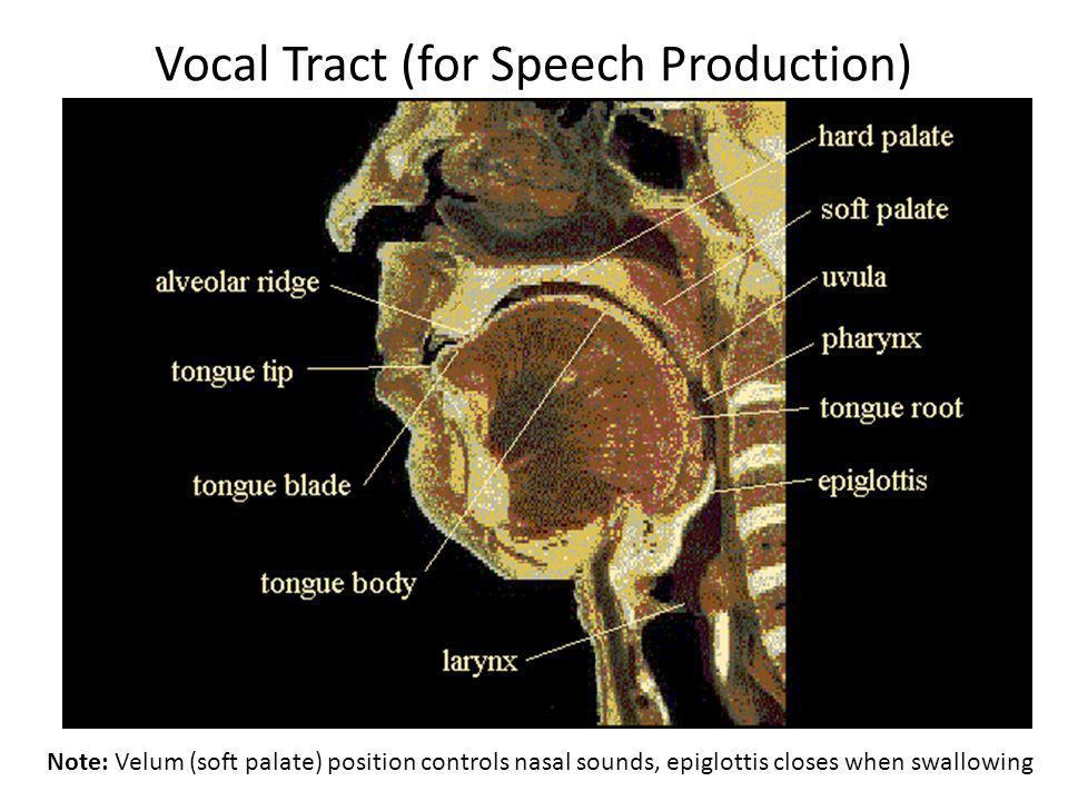 Vocal Tract (for Speech Production)