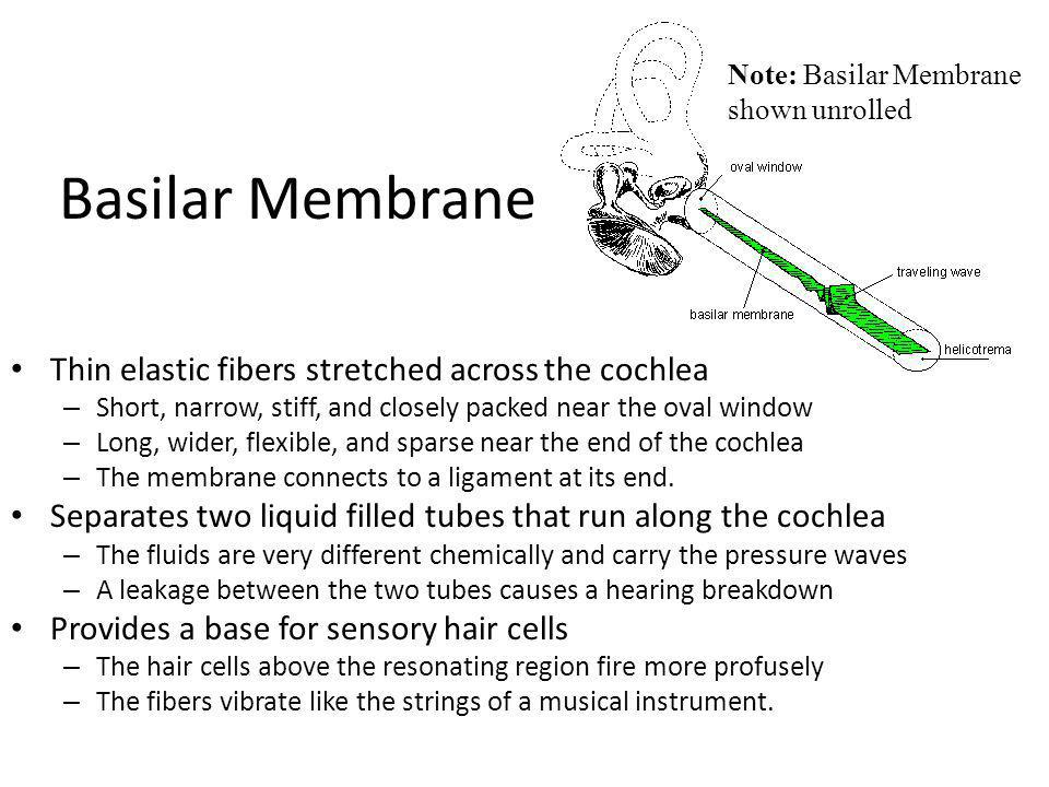 Basilar Membrane Thin elastic fibers stretched across the cochlea