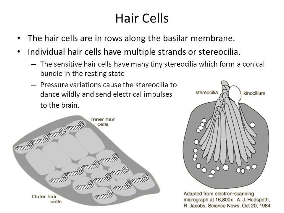 Hair Cells The hair cells are in rows along the basilar membrane.