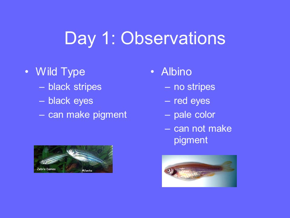 Day 1: Observations Wild Type Albino black stripes black eyes
