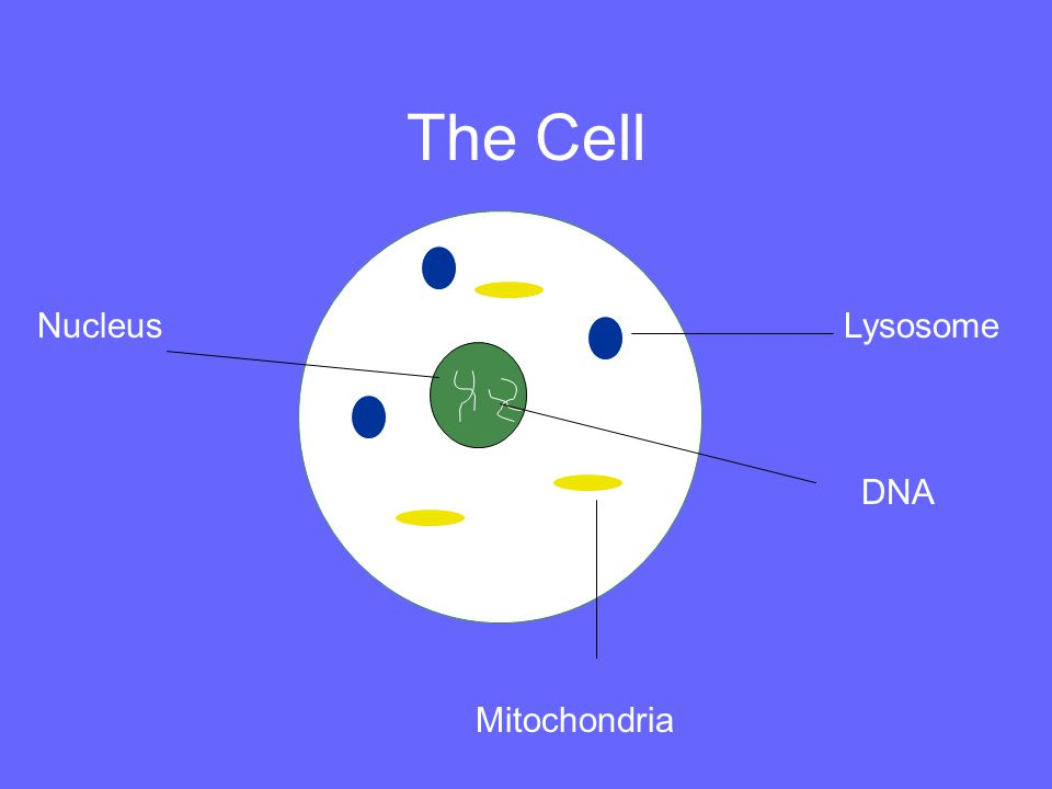 The Cell Nucleus Lysosome DNA Mitochondria