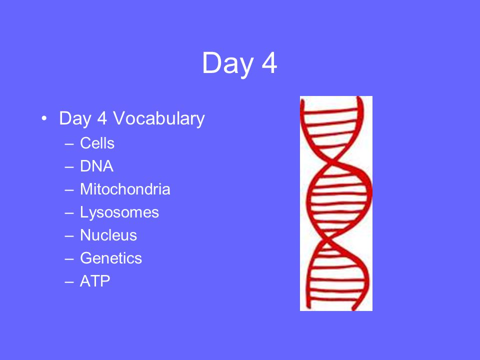 Day 4 Day 4 Vocabulary Cells DNA Mitochondria Lysosomes Nucleus