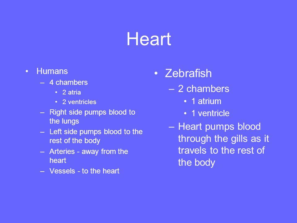 Heart Zebrafish 2 chambers