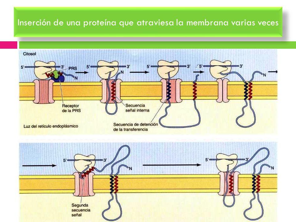Inserción de una proteína que atraviesa la membrana varias veces