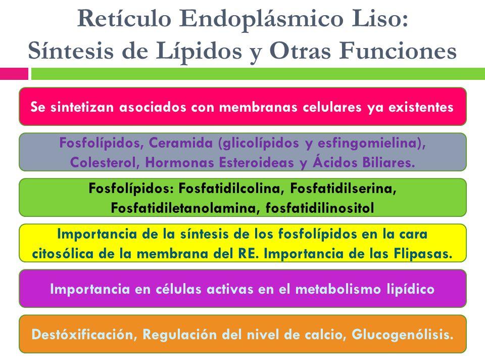 Retículo Endoplásmico Liso: Síntesis de Lípidos y Otras Funciones