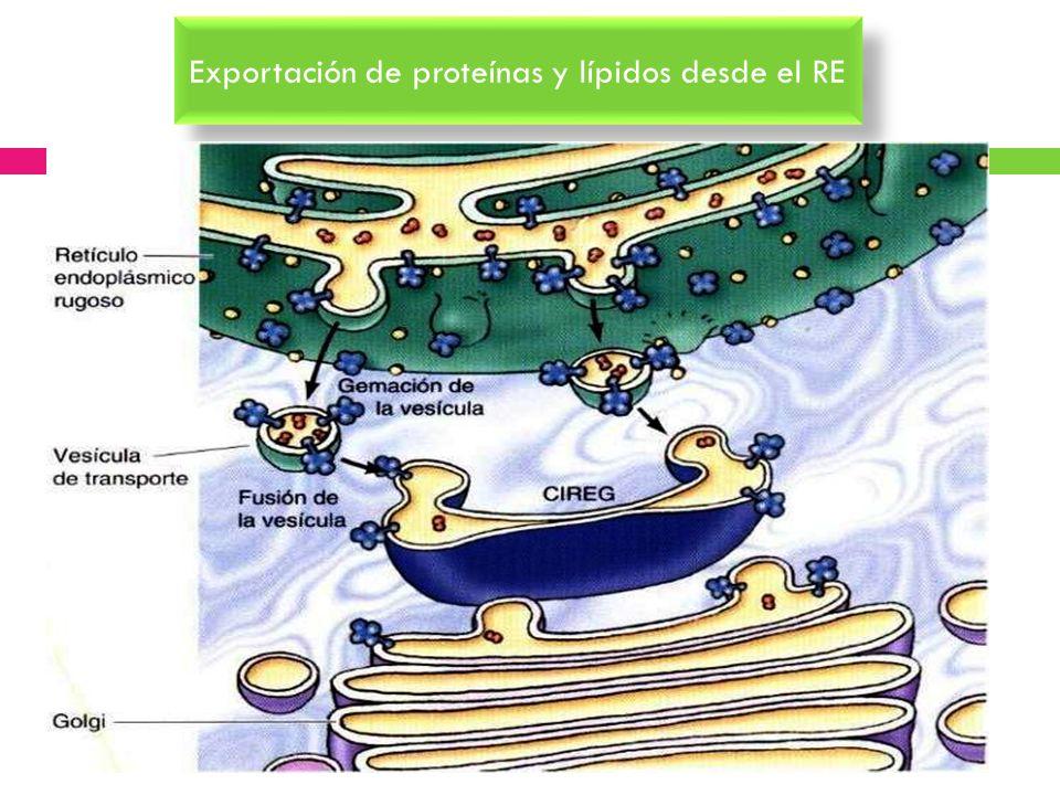 Exportación de proteínas y lípidos desde el RE