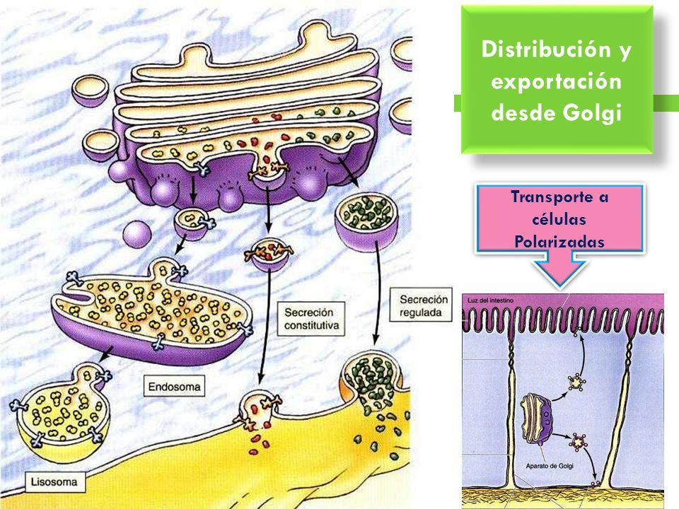 Distribución y exportación desde Golgi