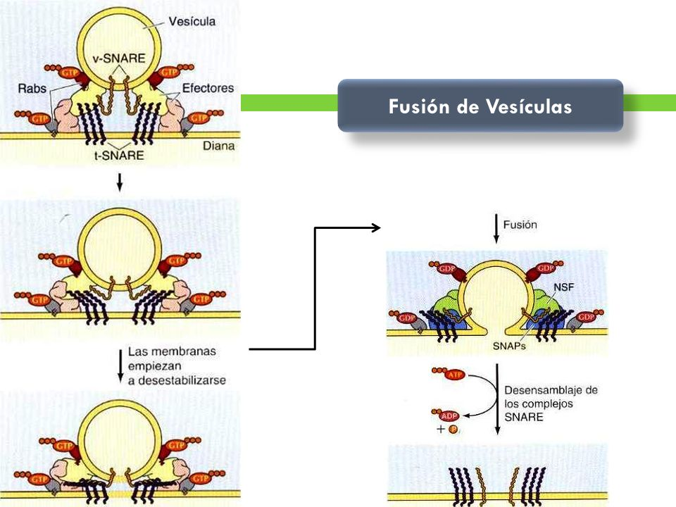 Fusión de Vesículas La fusión vesicular es iniciada por Rab/GTP.