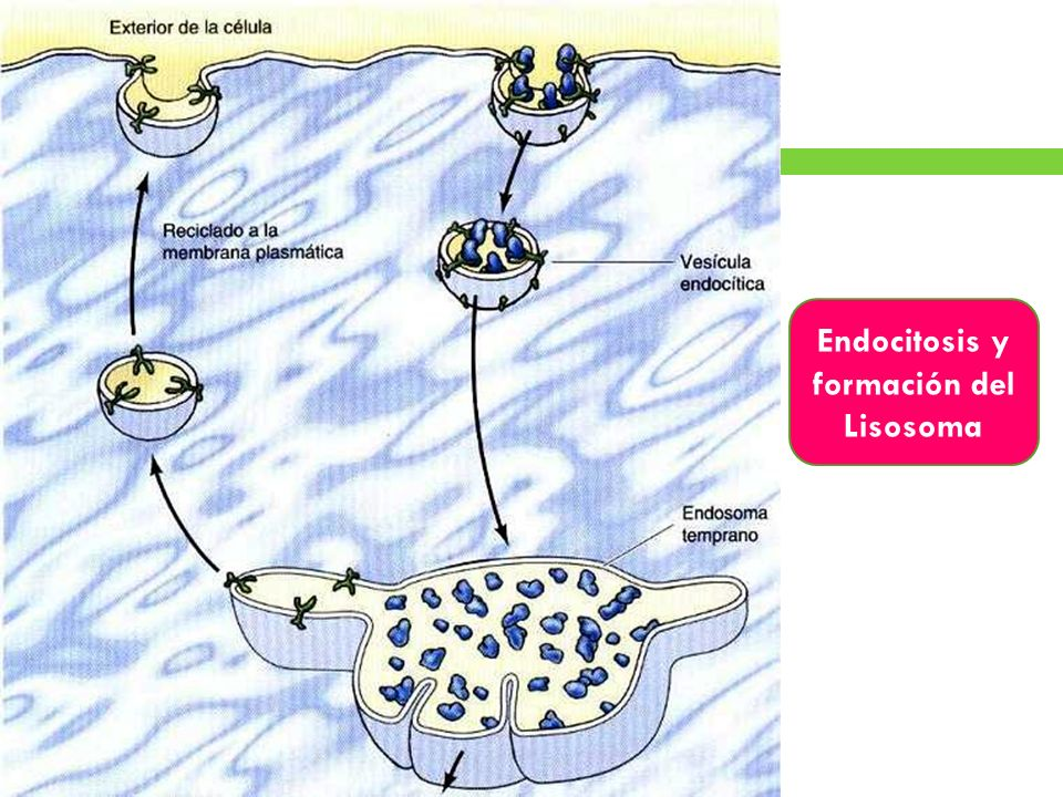 Endocitosis y formación del Lisosoma