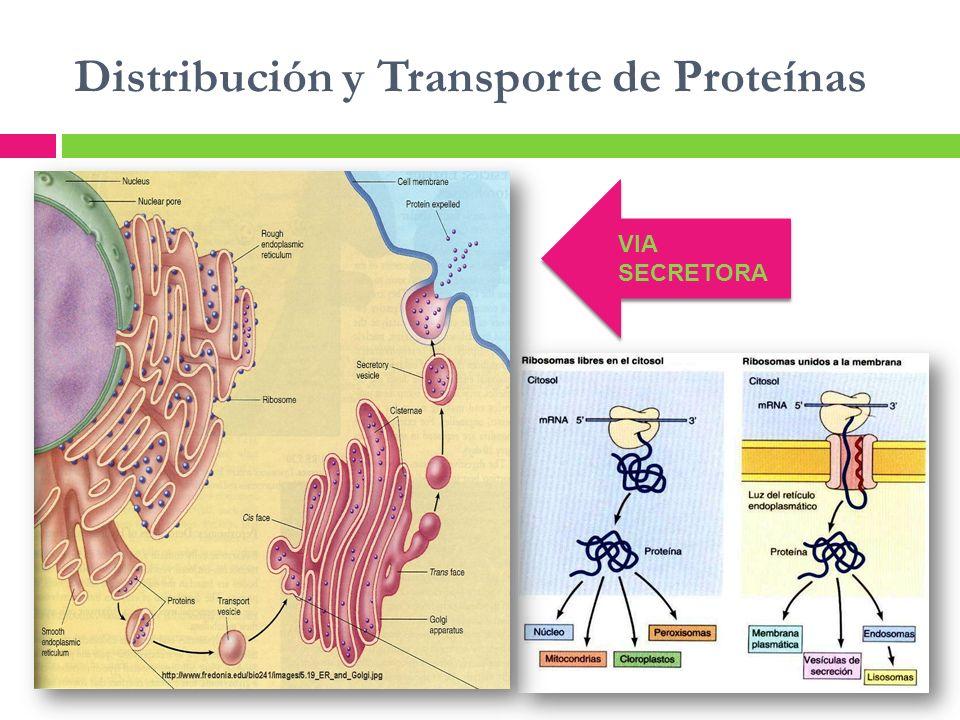 Distribución y Transporte de Proteínas