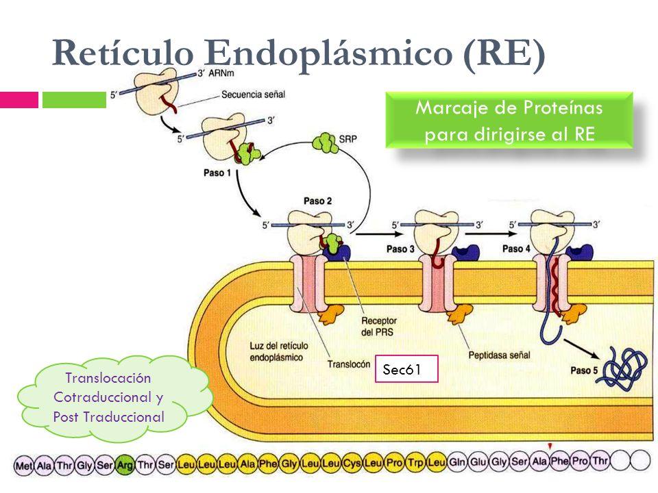 Retículo Endoplásmico (RE)