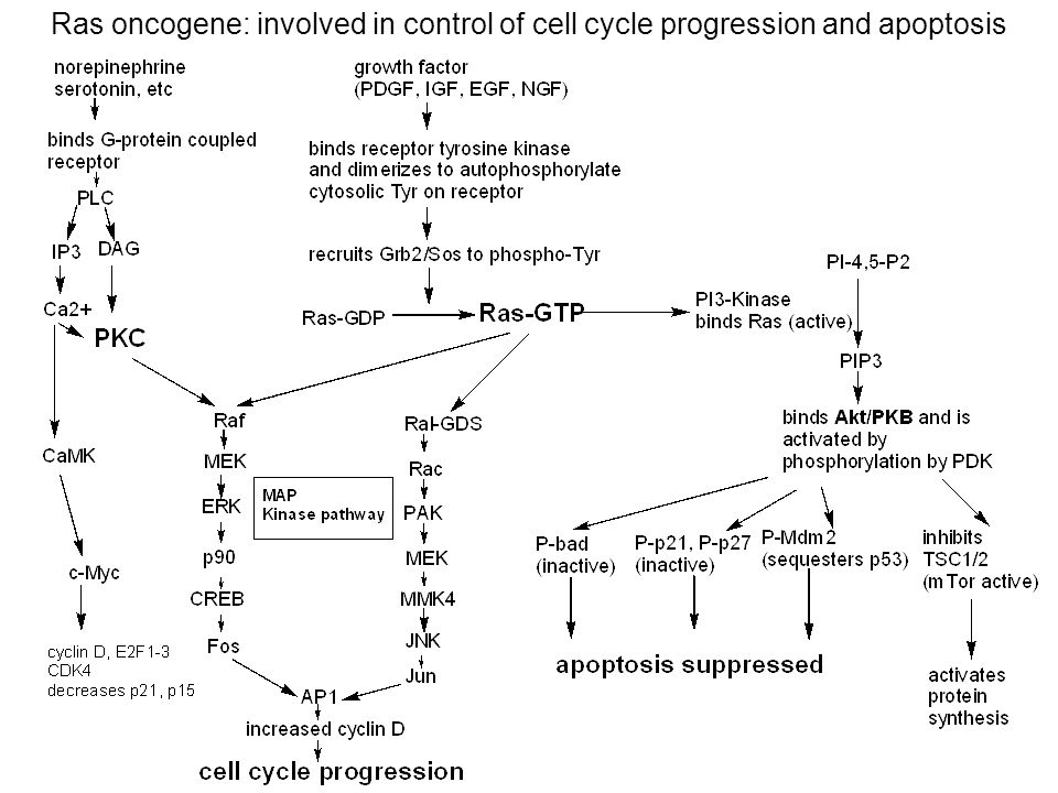 Ras oncogene: involved in control of cell cycle progression and apoptosis