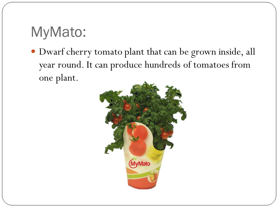 MyMato: Dwarf cherry tomato plant that can be grown inside, all year round. It can produce hundreds of tomatoes from one plant.