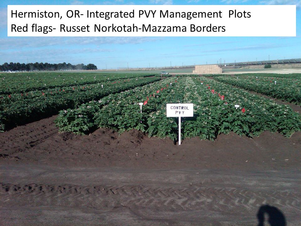 Hermiston, OR- Integrated PVY Management Plots