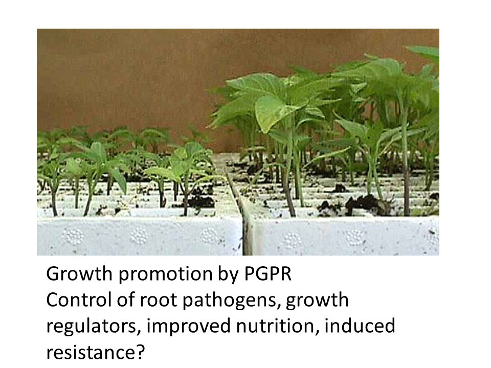 Growth promotion by PGPR