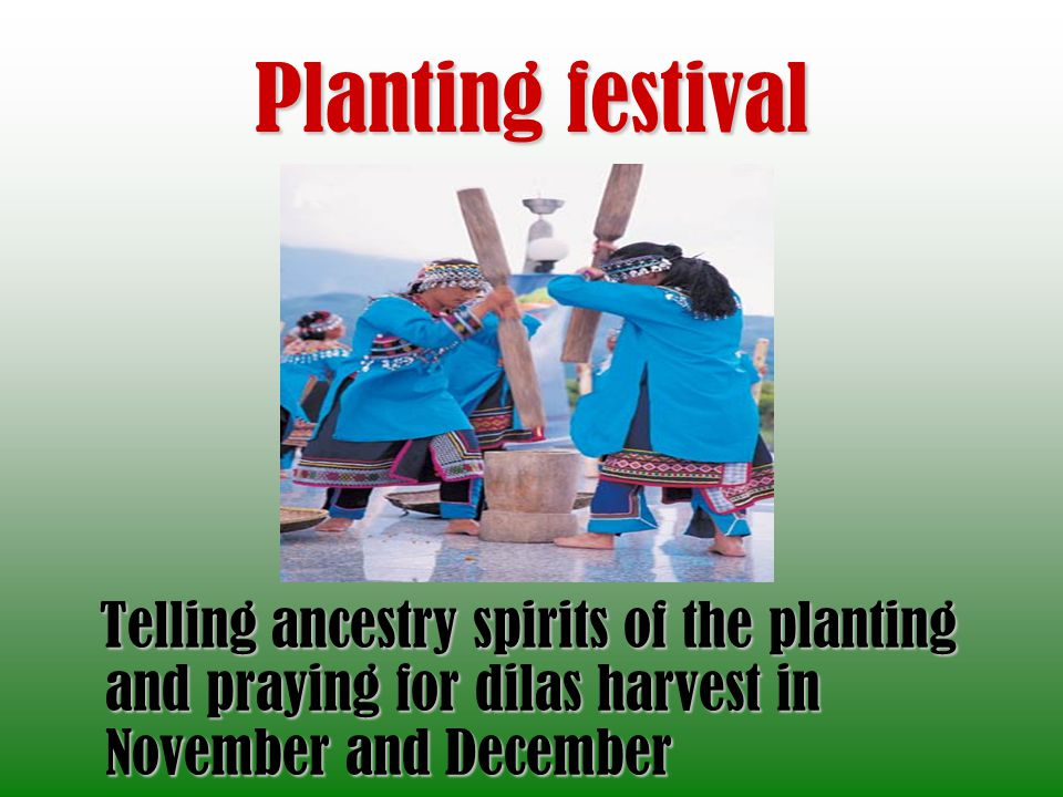 Planting festival Telling ancestry spirits of the planting and praying for dilas harvest in November and December.