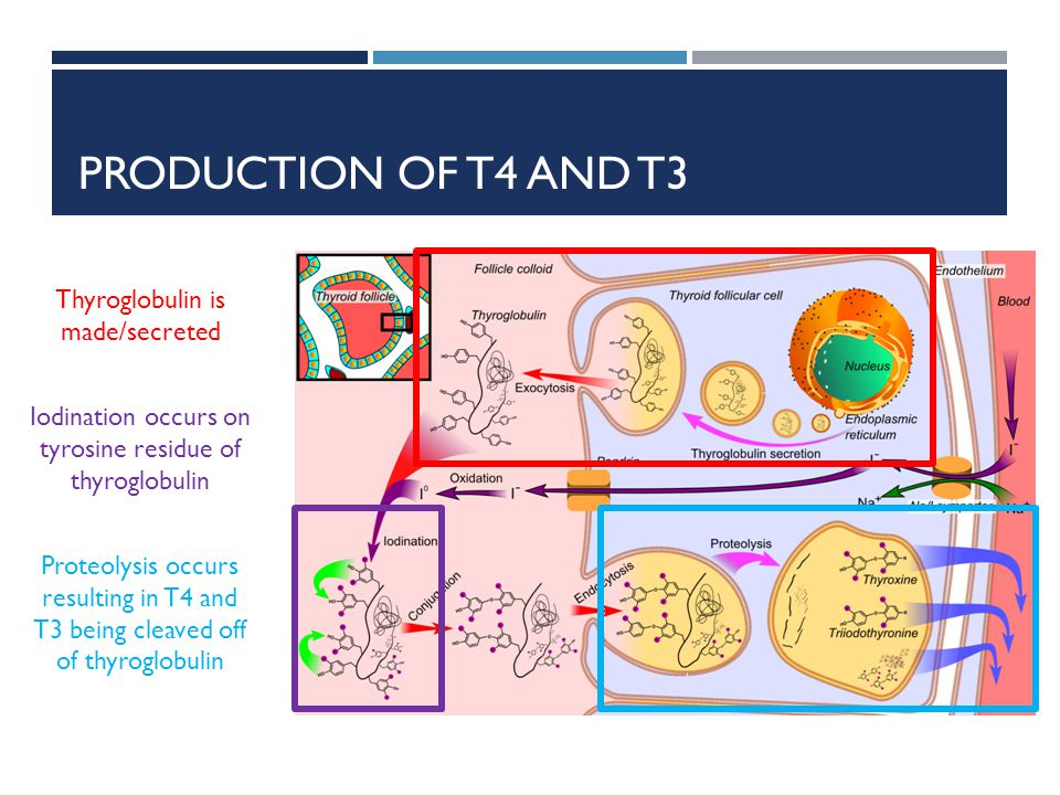 Production of t4 and t3 Thyroglobulin is made/secreted