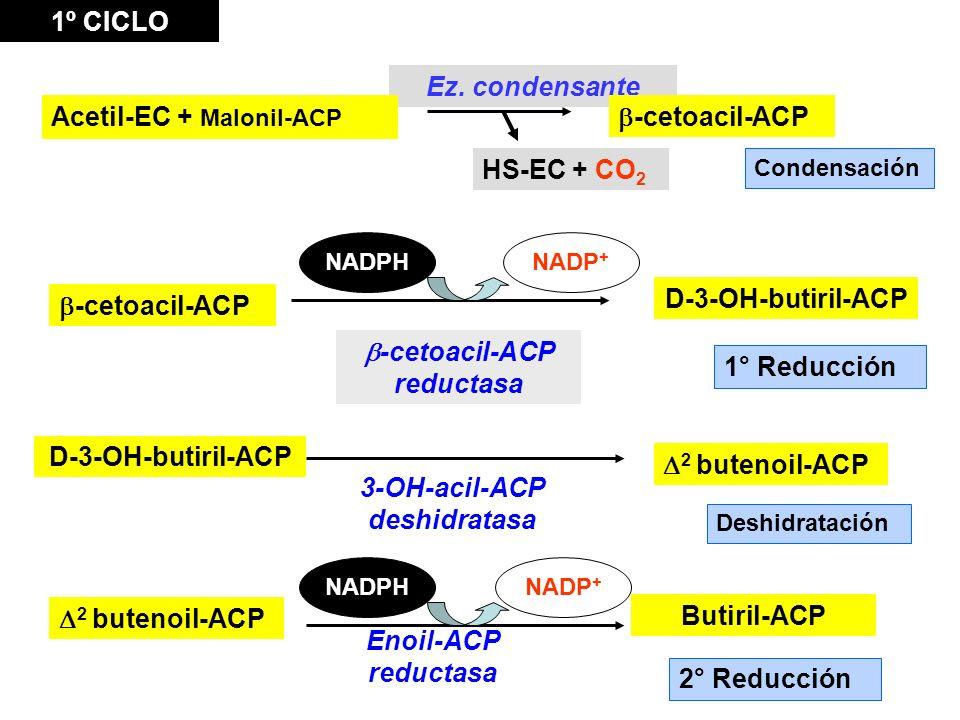 b-cetoacil-ACP reductasa 3-OH-acil-ACP deshidratasa