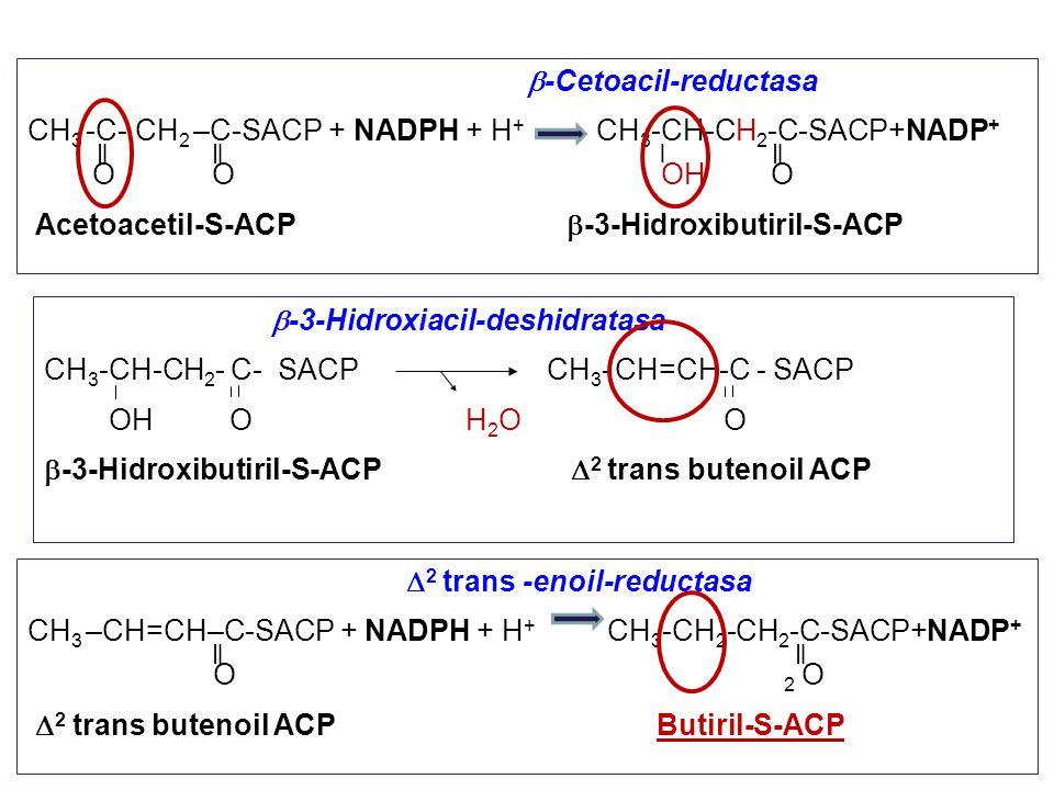 b-Cetoacil-reductasa