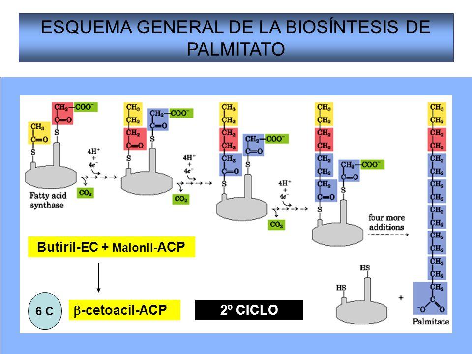 Butiril-EC + Malonil-ACP