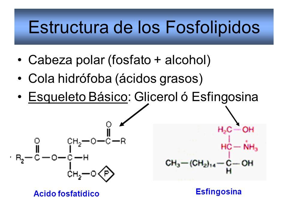 Estructura de los Fosfolipidos