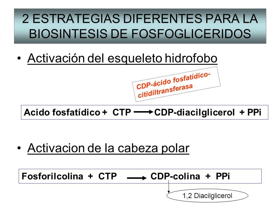 2 ESTRATEGIAS DIFERENTES PARA LA BIOSINTESIS DE FOSFOGLICERIDOS