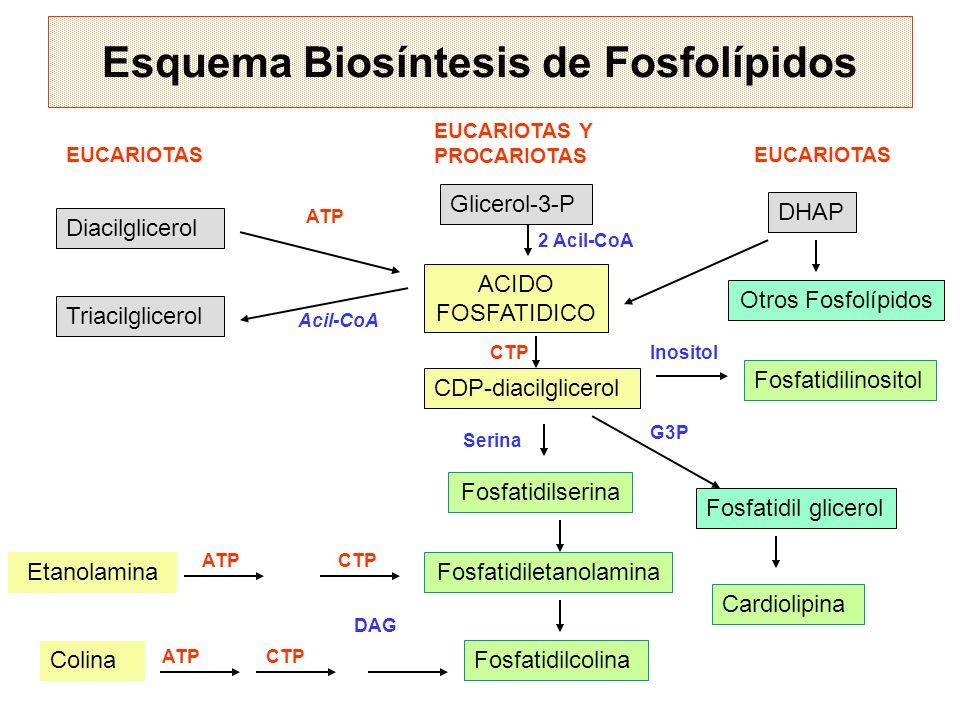 Esquema Biosíntesis de Fosfolípidos