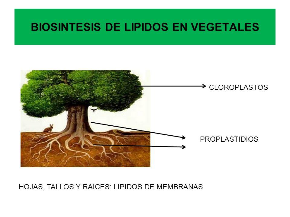 BIOSINTESIS DE LIPIDOS EN VEGETALES