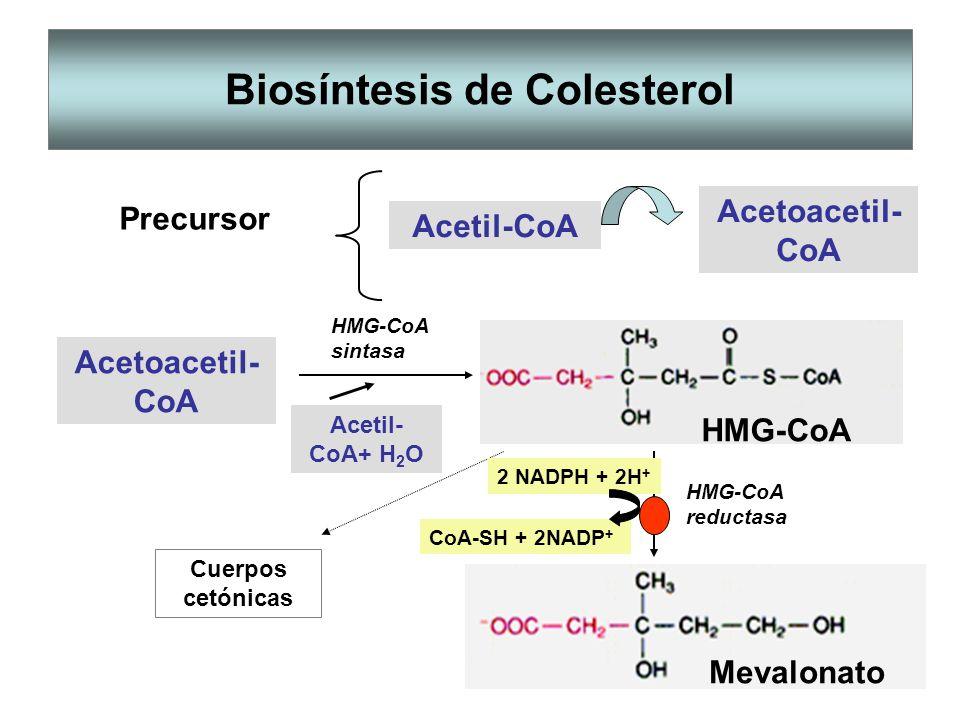Biosíntesis de Colesterol