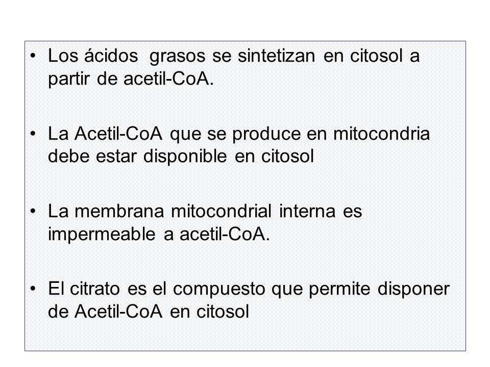 Los ácidos grasos se sintetizan en citosol a partir de acetil-CoA.