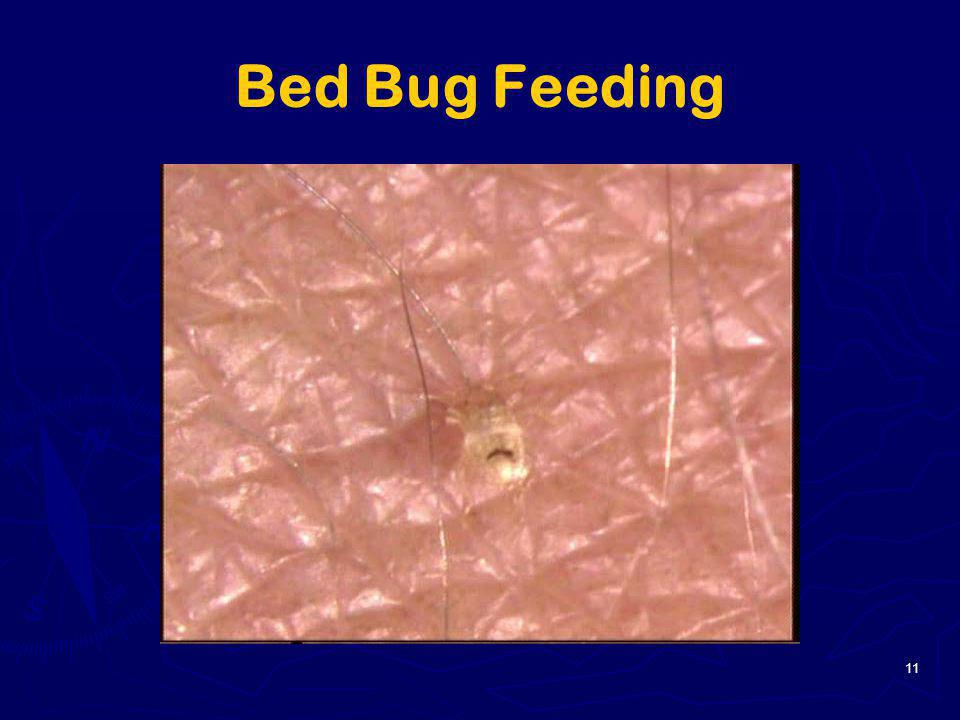 Bed Bug Feeding 11