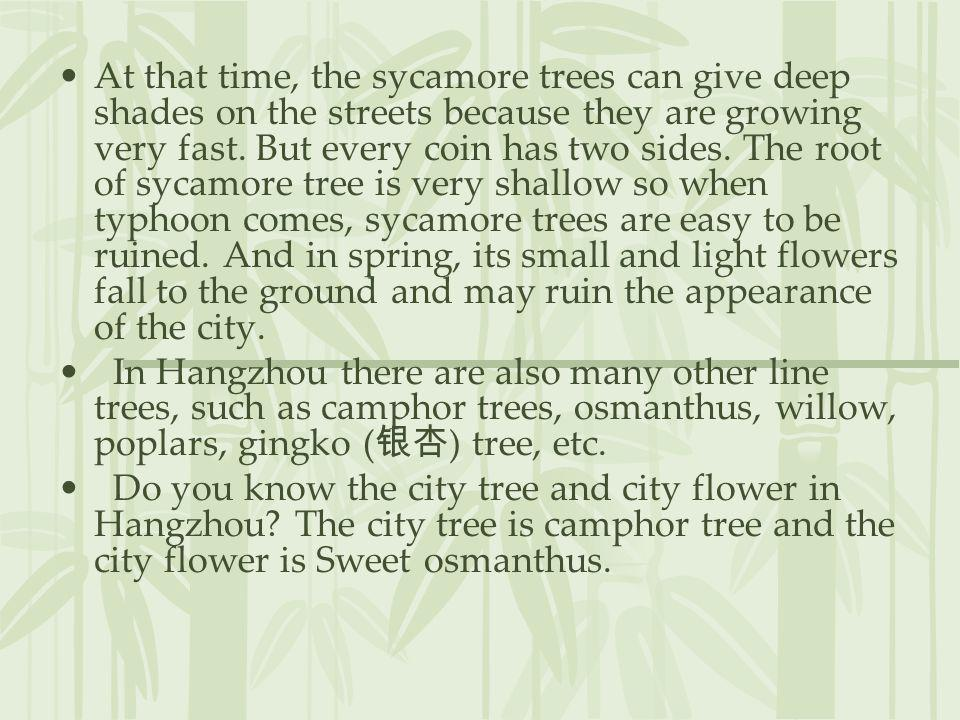 At that time, the sycamore trees can give deep shades on the streets because they are growing very fast. But every coin has two sides. The root of sycamore tree is very shallow so when typhoon comes, sycamore trees are easy to be ruined. And in spring, its small and light flowers fall to the ground and may ruin the appearance of the city.