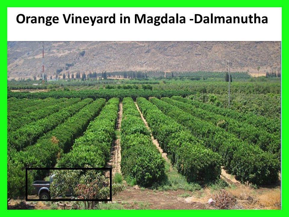 Orange Vineyard in Magdala -Dalmanutha
