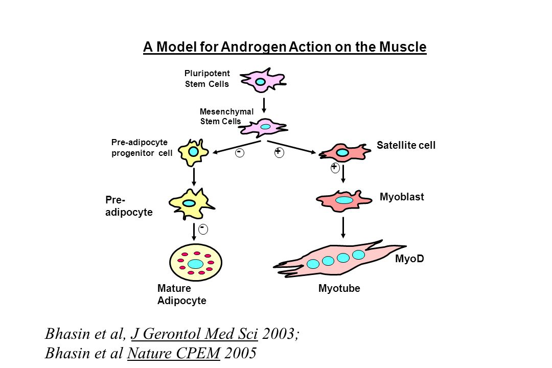 A Model for Androgen Action on the Muscle