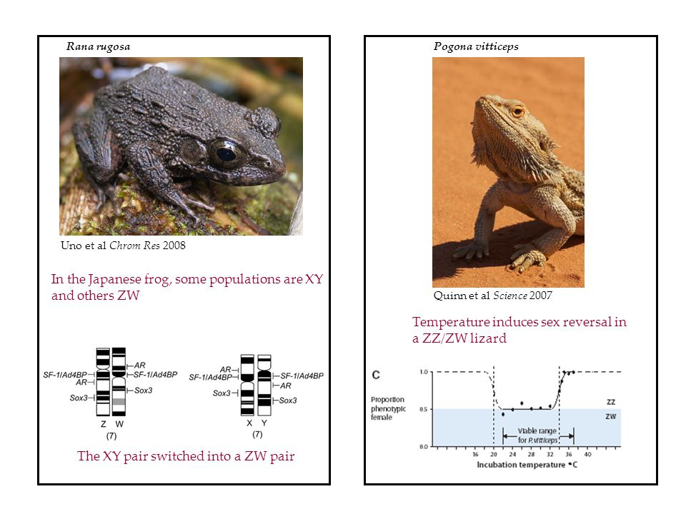 In the Japanese frog, some populations are XY and others ZW