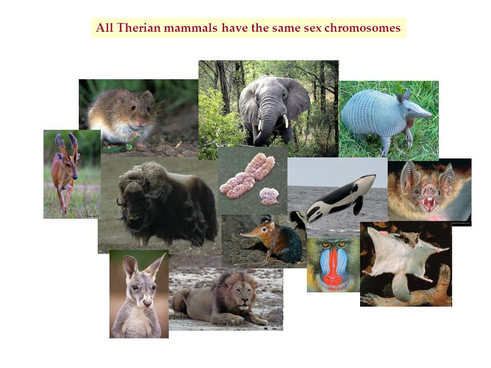 All Therian mammals have the same sex chromosomes