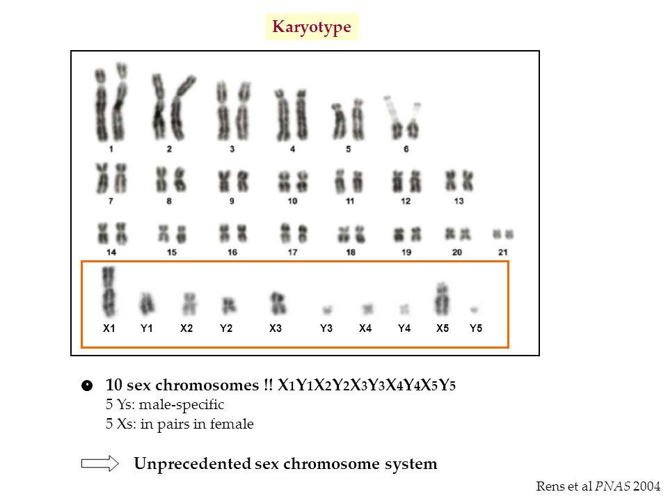10 sex chromosomes !! X1Y1X2Y2X3Y3X4Y4X5Y5
