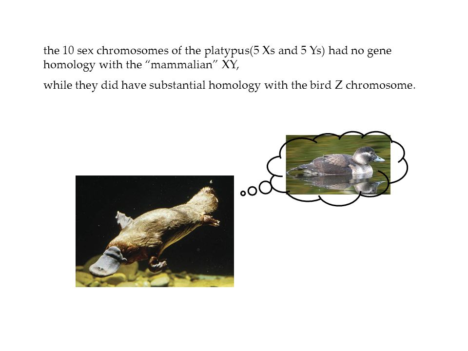 the 10 sex chromosomes of the platypus(5 Xs and 5 Ys) had no gene homology with the mammalian XY,