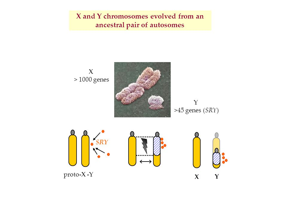 X and Y chromosomes evolved from an ancestral pair of autosomes