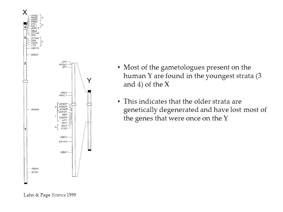 Most of the gametologues present on the human Y are found in the youngest strata (3 and 4) of the X