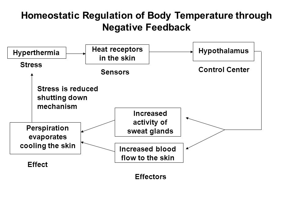 Homeostatic Regulation of Body Temperature through Negative Feedback