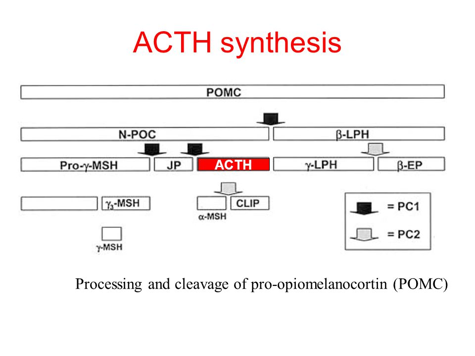 ACTH synthesis Processing and cleavage of pro-opiomelanocortin (POMC)