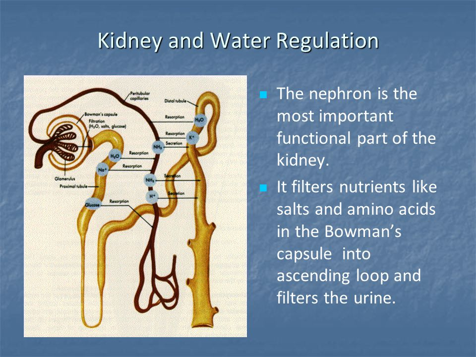 Kidney and Water Regulation
