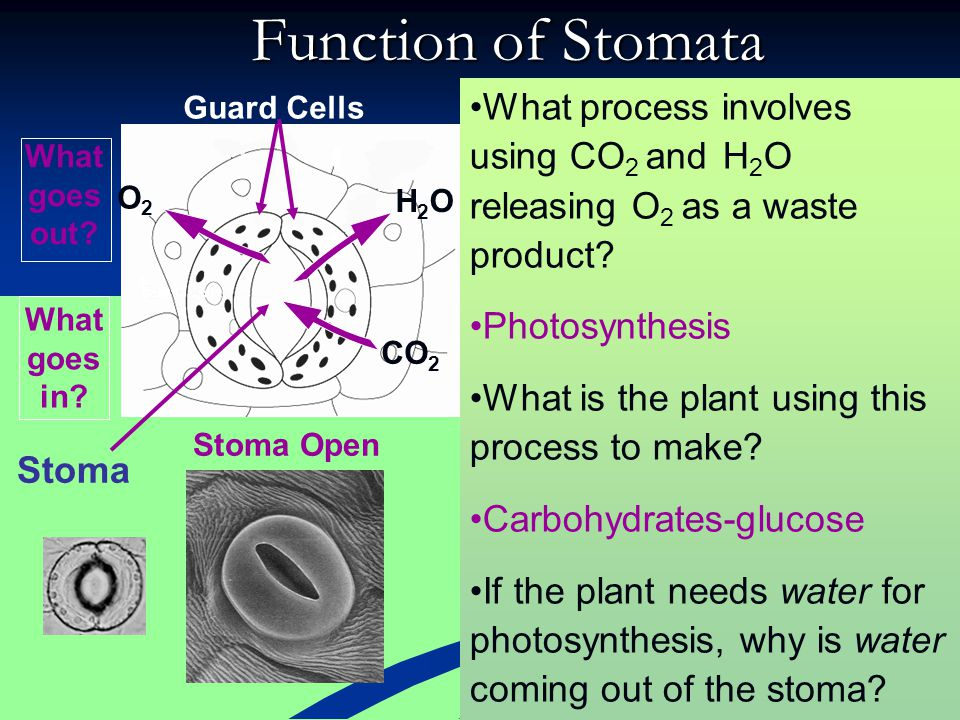 Function of Stomata Guard Cells. What process involves using CO2 and H2O releasing O2 as a waste product