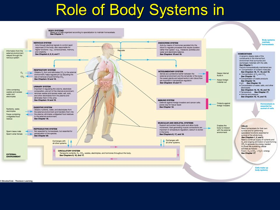 Role of Body Systems in Homeostasis