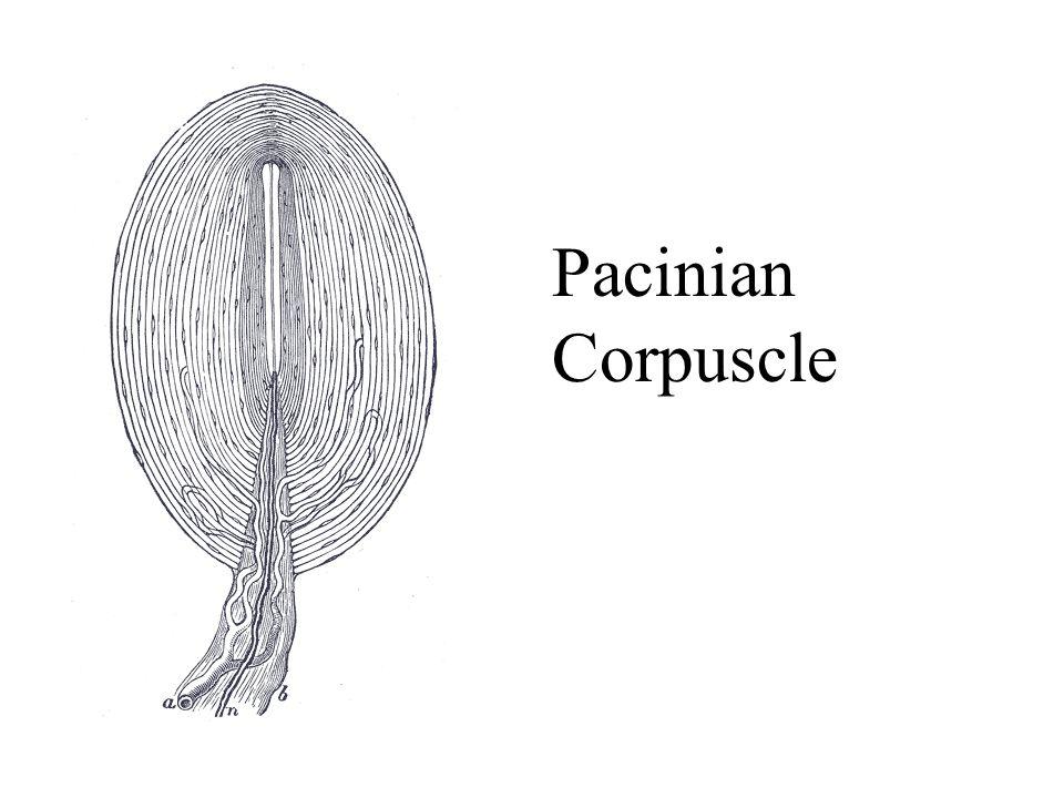 Pacinian Corpuscle