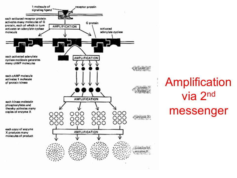 Amplification via 2nd messenger